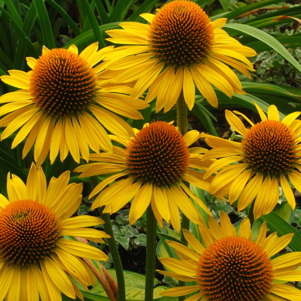 CONEFLOWER SUNRISE