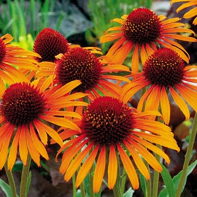 CONEFLOWER FLAME THROWER